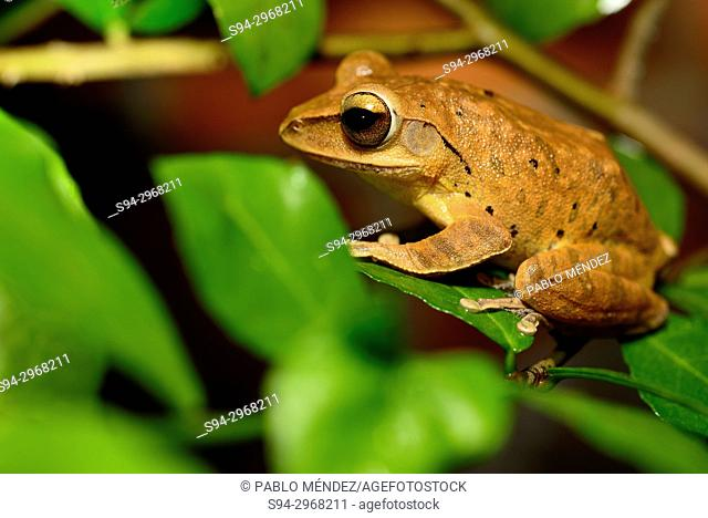 Four-lined treefrog (Polypedates leucomystax) in Siem Reap, Cambodia