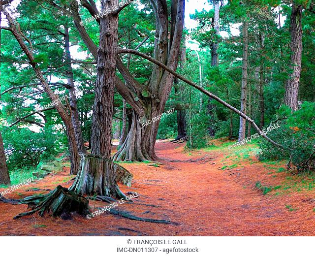France, Brittany, Berder island, pine forest