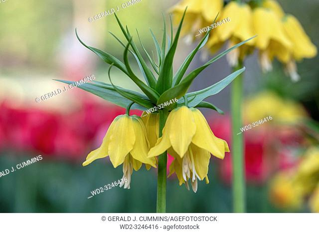 Fritillaria imperialis, commonly known as crown imperial, is a bulb native to mountainous regions in Turkey, western Iran and eastwards to Kashmir