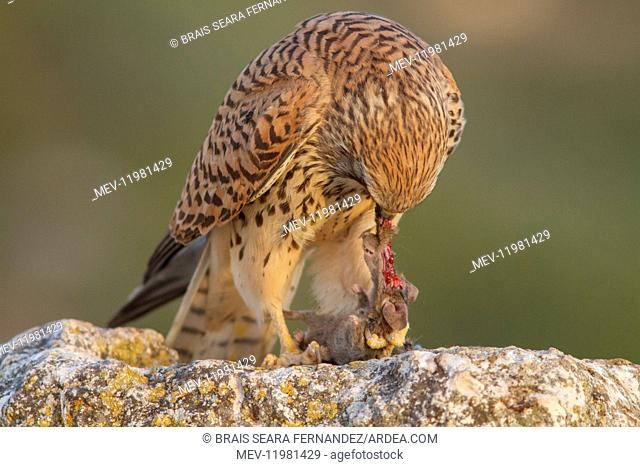 Lesser Kestrel female eating a mouse Castile-La Mancha, Spain