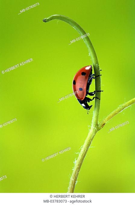 Plant stems, detail, ladybugs   Series, nature, fauna, animal, insect, bugs, seven point, Coccinella septempunctata, red, scored points, food search, concept