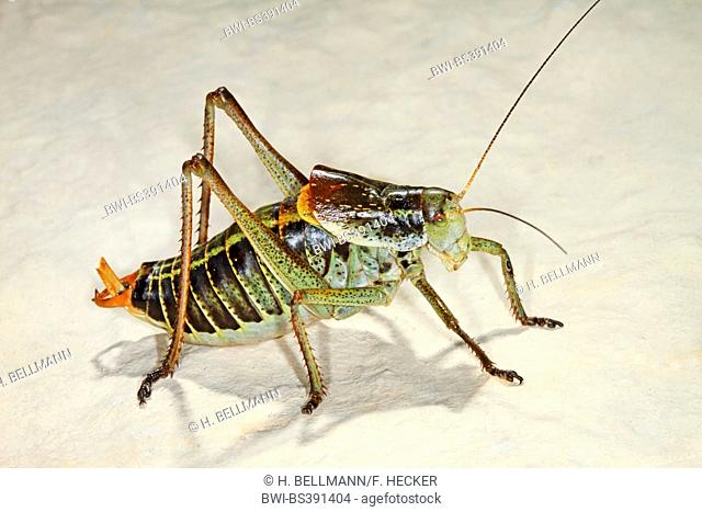 Large saw tailed bush cricket, Large saw-tailed bush-cricket (Polysarcus denticauda, Orphania denticauda), male, Germany