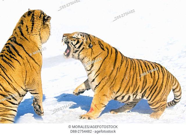 China, Harbin, Siberian Tiger Park, Siberian Tiger (Panthera tgris altaica)