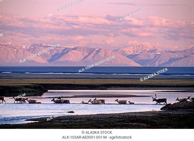 Porcupine Caribou herd Tamayariak River ANWR AK