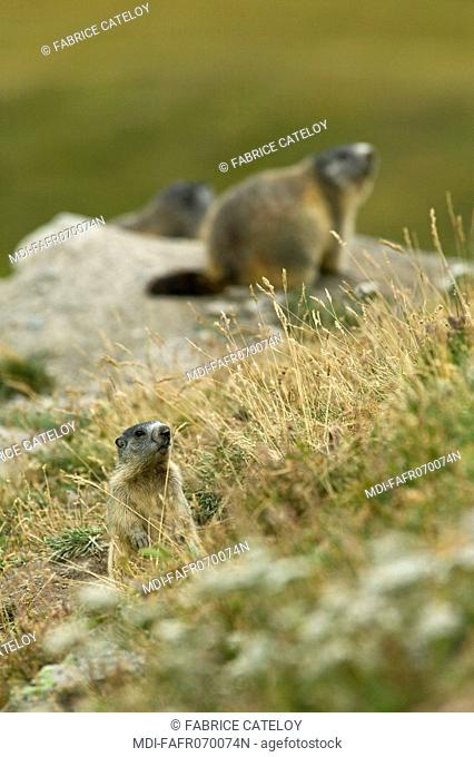 Family of marmots in the natural regional park of Queyras