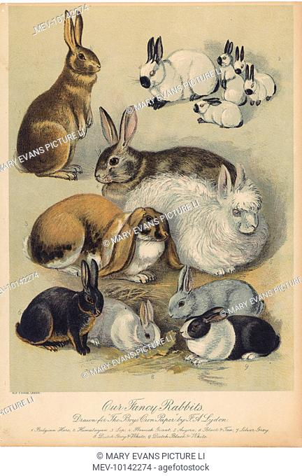 An assortment of rabbits (Himalayan, Lop-eared, Flemish Giant, Angora, Black & Tan, Silver Grey, Dutch Grey & White, Dutch Black & White), and a Belgian Hare