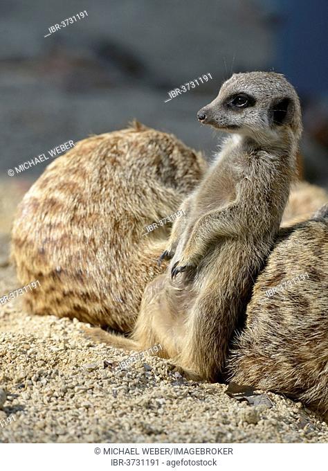 Meerkat (Suricata suricatta), Young Animal, occurrence Africa, captive, Baden-Württemberg, Germany