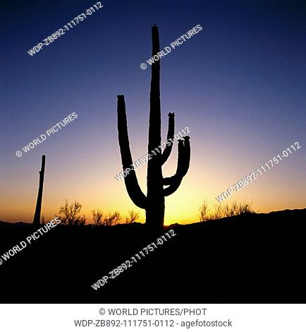 Giant Catcus in Arizona National Park USA Date: 22 02 2008 Ref: ZB892-111751-0112 COMPULSORY CREDIT: World Pictures/Photoshot
