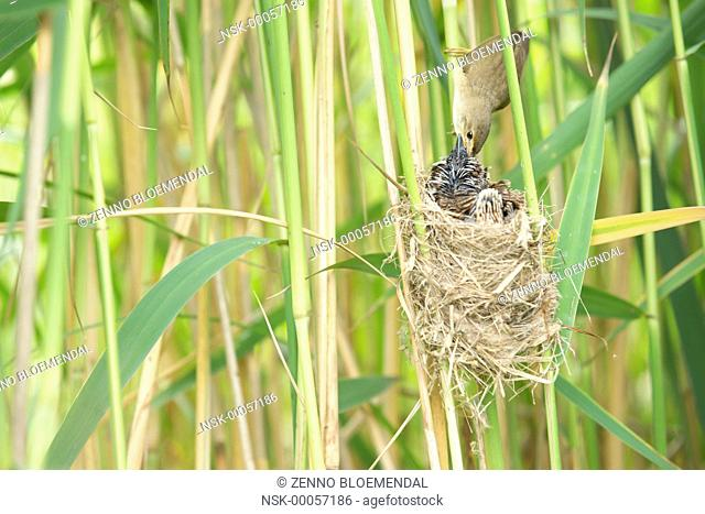 Common Cuckoo (Cuculus canorus) chick, fed by Eurasian Reed-warbler (Acrocephalus scirpaceus) adult, at nest, The Netherlands, Zuid-Holland