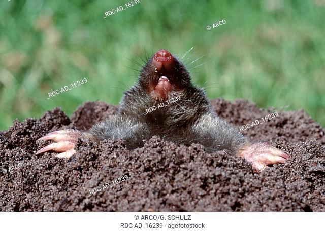 European Mole Germany Talpa europaea