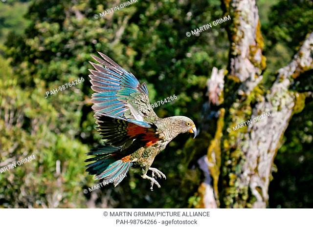 Kea (Nestor notabilis) flying, Arthur's Pass National Park, New Zealand | usage worldwide. - /New Zealand