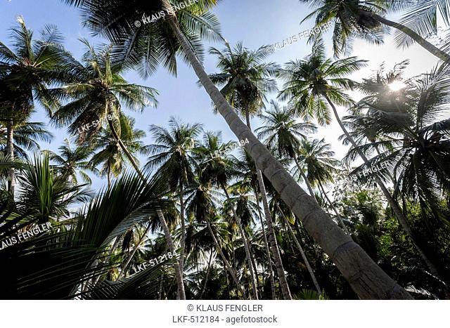 Palm trees, Puerto Columbia, Henri Pittier National Park, Venezuela