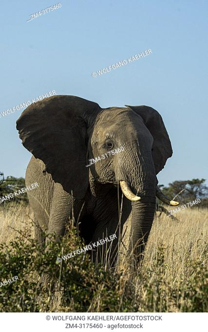 An African elephant (Loxodonta africana) at the Lewa Wildlife Conservancy in Kenya