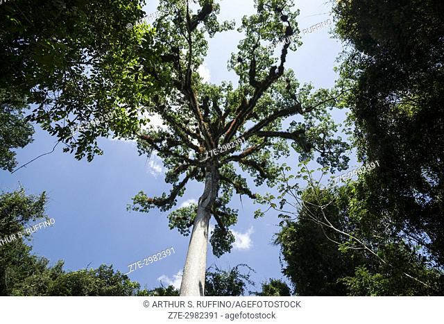 Ceiba pentandra tree (silk cotton tree). National tree of Guatemala. Sacred tree of the Mayans. Tikal, Guatemala, Central America