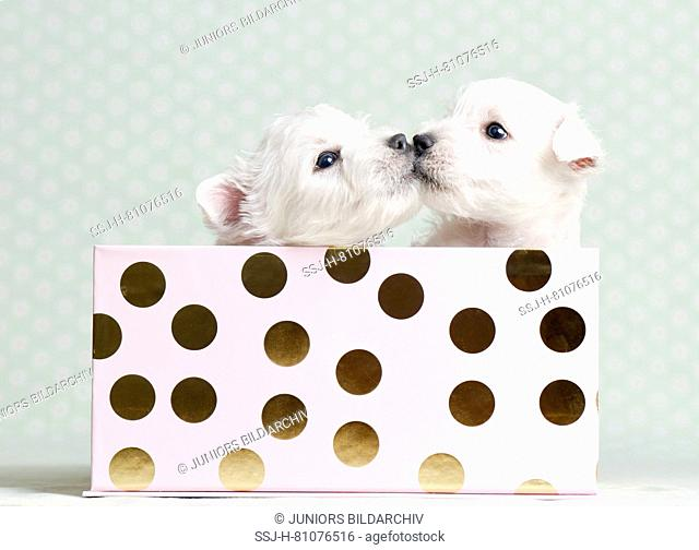 West Highland White Terrier. Two puppies (4 weeks old) in a box. Studio picture. Germany
