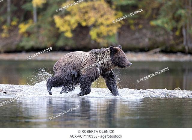 Grizzly bear (Ursus arctos horribilis), two-year old cub, Chilcotin Region, British Columbia, Canada