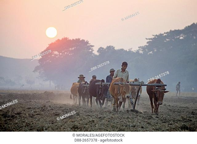 Myanmar, Rakhine state, Mrauk-U, farmers plow the soil with hitches