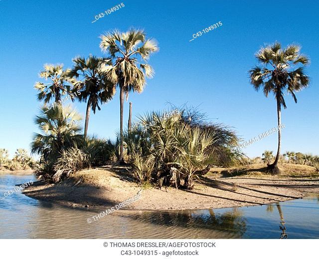 Namibia - Makalani palm trees Hyphaene petersiana and shallow pools oshanas are prominent features of northern Namibia where the Owambo people live  Omusati...