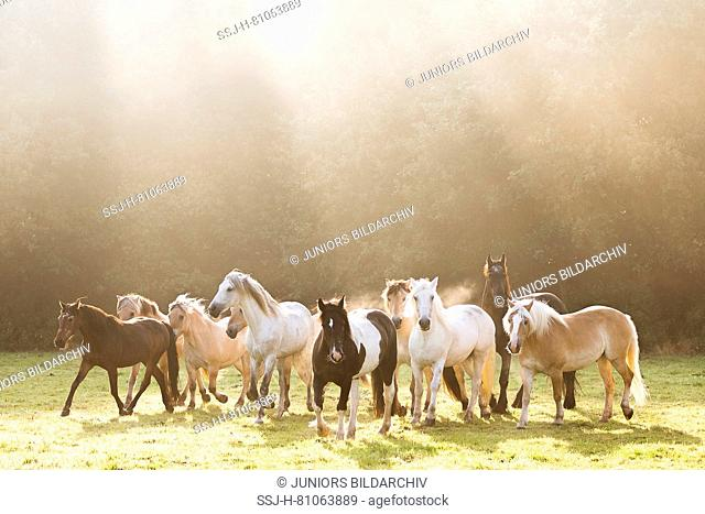 Domestic Horse. Horses of different breeds on a pasture in morning mist. Germany