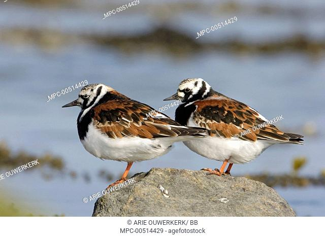 Ruddy Turnstone (Arenaria interpres) pair, Terschelling, Netherlands
