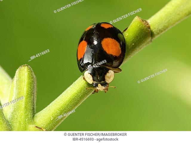Asian ladybug (Harmonia axyridis) on plant stem, Neobiont, Switzerland