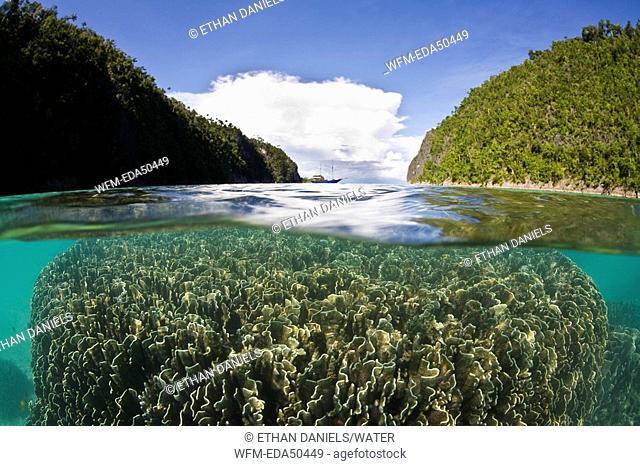 Coral Bommie in shallow Lagoon, Heliopora coerulea, Raja Ampat, West Papua, Indonesia