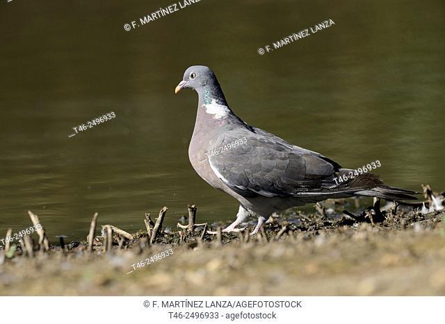 Wood pigeon Columba palumbus. Photographed in the park Polvoranca