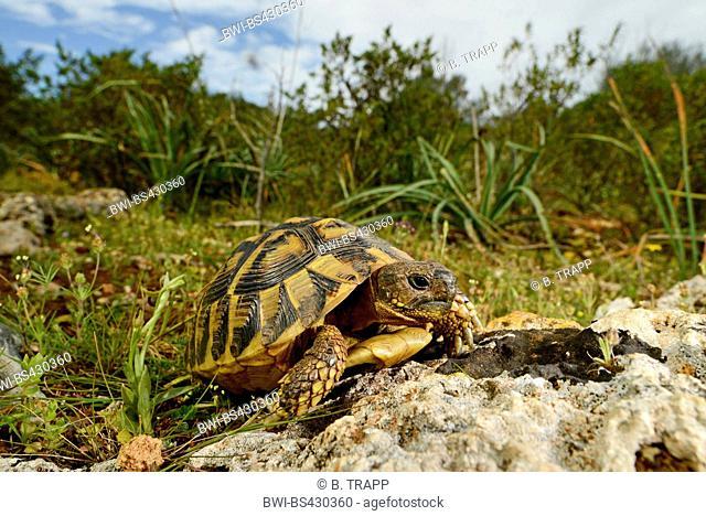 Hermann's tortoise, Greek tortoise (Testudo hermanni), juvenile in its habitat, Spain, Balearen, Majorca