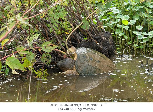 Snapping turtle (Chelydra serpentina), Virginia, USA