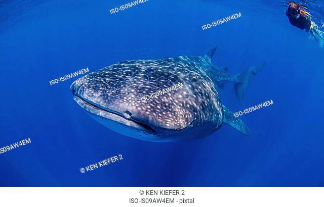 Whale sharks near Isla Mujeres, Mexico