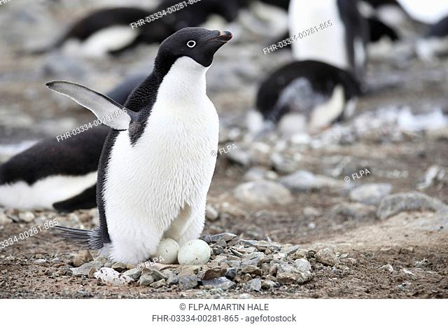 Adelie Penguin (Pygoscelis adeliae) adult, showing brood patch, standing at nest with two eggs in rookery, Antarctic Peninsula, Antarctica, November