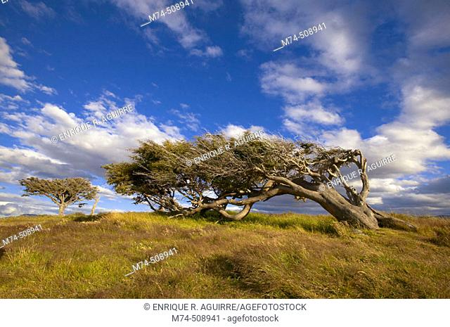 Lenga (Notohofagus pumilio). Beagle Channel. Tierra del Fuego, Patagonia, Argentina