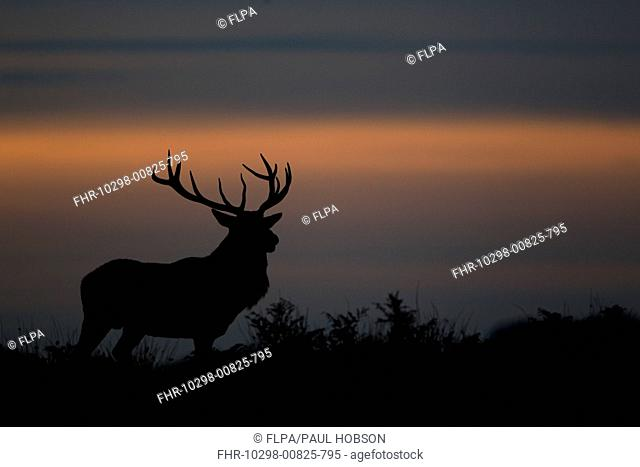 Red Deer Cervus elaphus stag, silhouetted at sunset, during rutting season, Bradgate Park, Leicestershire, England, november