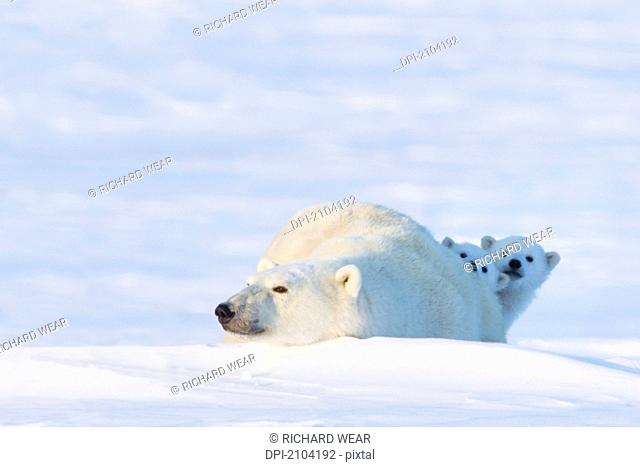 Two polar bear ursus maritimus cubs looking from behind their mother's back at wapusk national park, manitoba canada