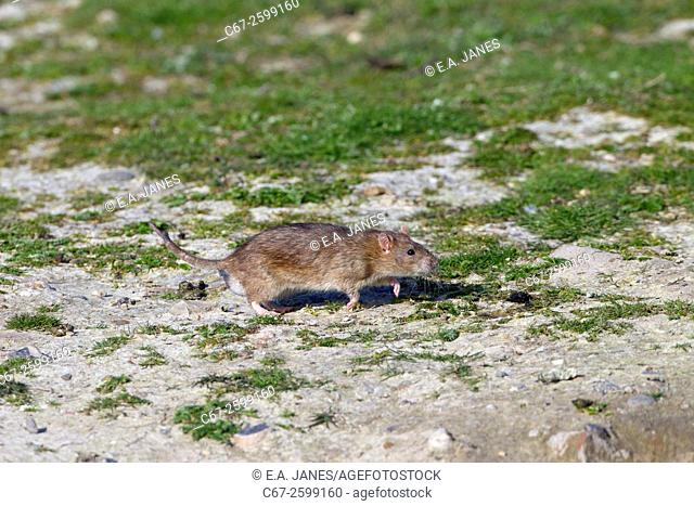 Brown Rat Rattus norvegicus running from hole