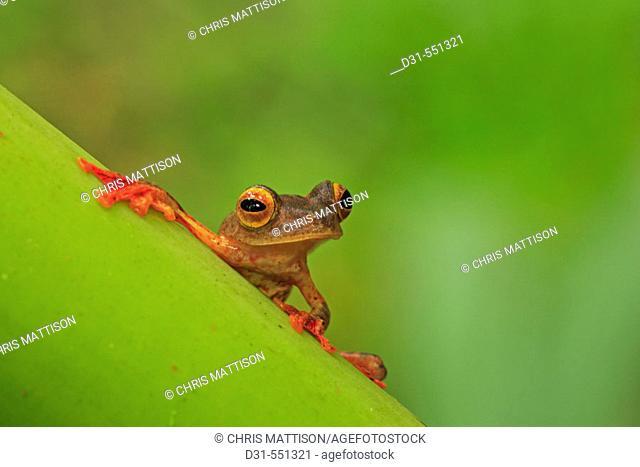 Harlequin Gliding Tree Frog, Rhacophorus pardalis. Danum Valley, Sabah, Borneo