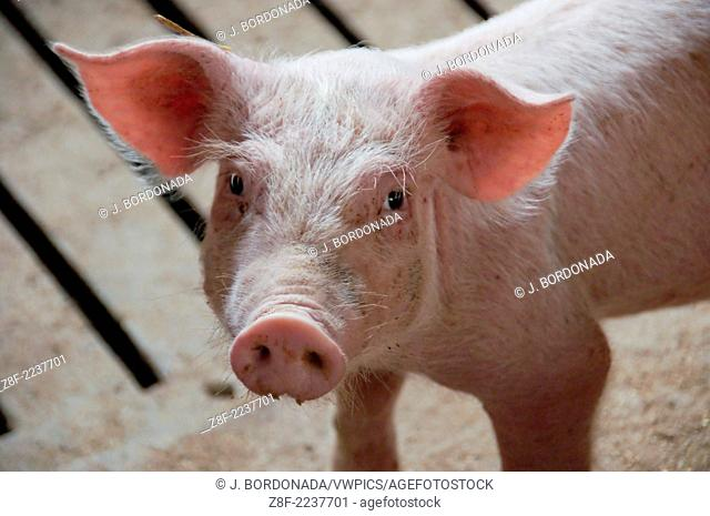 Pigs farm in Monegros