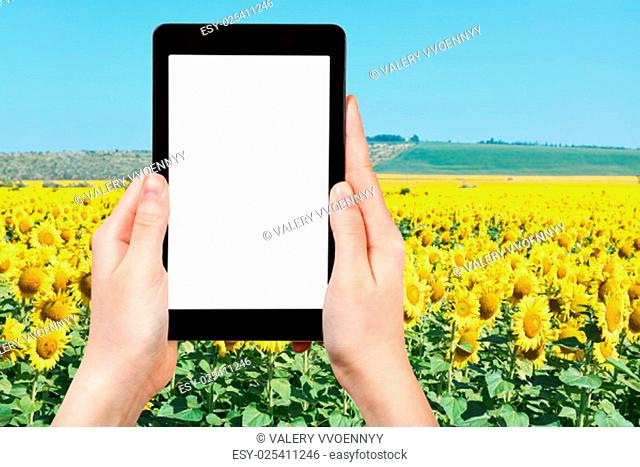 travel concept - tourist photograph yelow sunflower fields in hill of Caucasus mountains on tablet pc with cut out screen with blank place for advertising logo