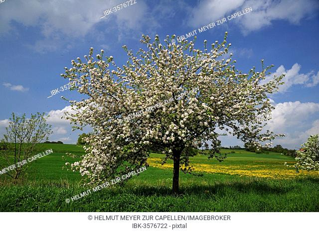 Blossoming Apple Tree (Malus domesticus) on a meadow, Pettensiedel, Igensdorf, Upper Franconia, Bavaria, Germany