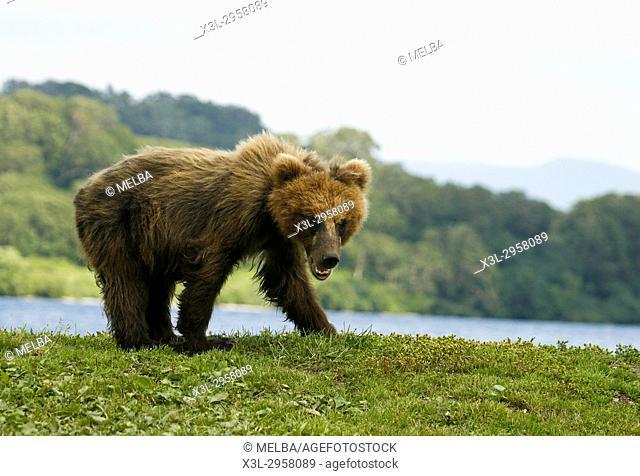 Brown Bear cub (Ursus arctos) in Kurile Lake, Kamchatka Peninsula, Russia