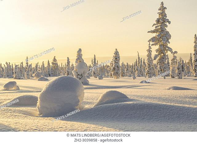 Winter landscape in clear blue sky with snowy trees and warm light, Gällivare county, Swedish Lapland, Sweden