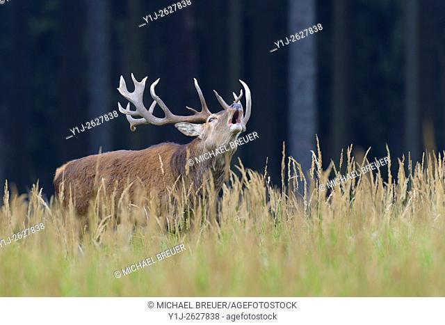 Belling Red Deer (Cervus elaphus) in Rutting Season, Germany, Europe