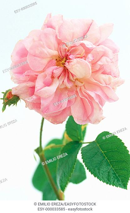 Cabbage Rose (Rosa centifolia)