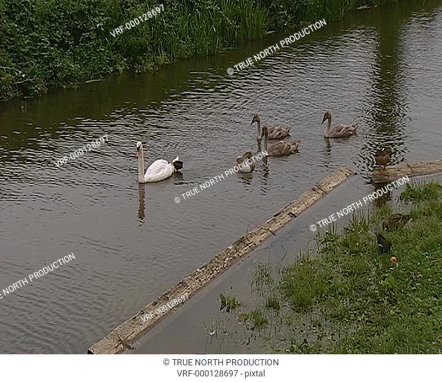 Swans x 4, WS, on river with cygnets, relaxation. UK