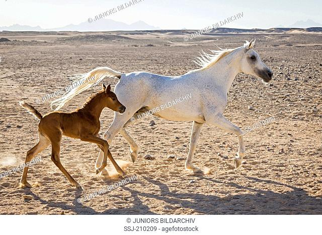 Arabian Horse. Gray mare with chestnut foal trotting in the desert. Egypt