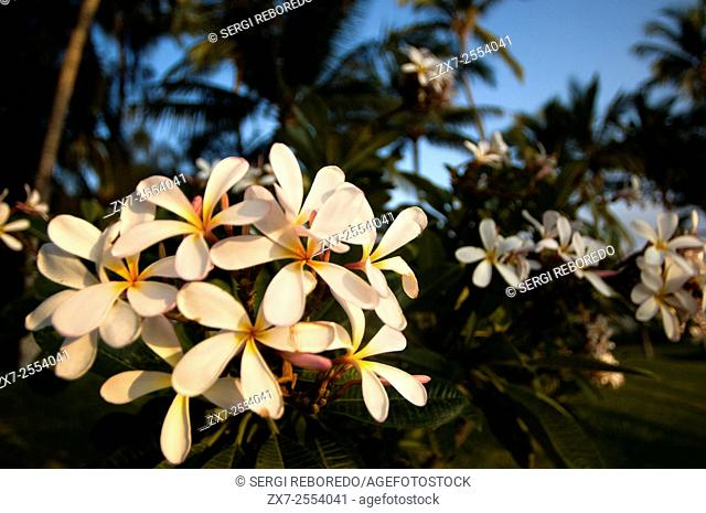 Plumería, the most famous flowers of Hawaii. Plumeria, common name Frangipani is a genus of flowering plants in the dogbane family, Apocynaceae