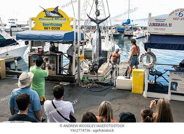 Weighing marlin fishing dock Lahaina Maui Hawaii USA