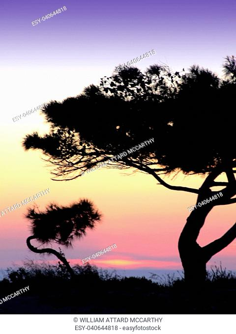 Tree silhouette, against summery natural sunset in the Mediterranean island of Malta
