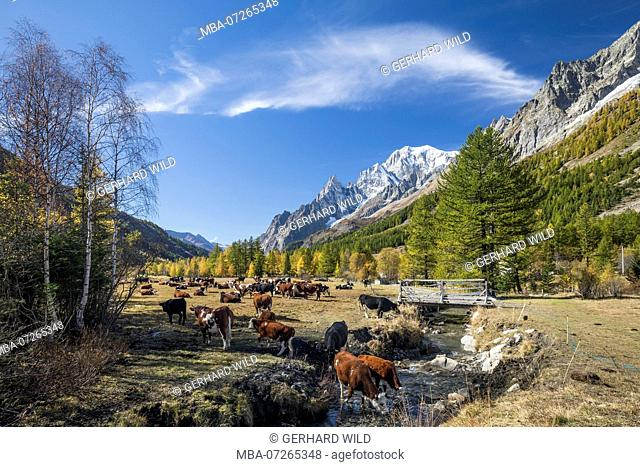 Cow pasture in the autumnal Alpine valley Val Ferret, behind the Mont Blanc (4810m), near Courmayeur, Aosta, Aosta Valley, Italy