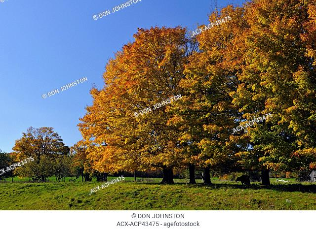Maple trees in pasture, Little Current, Manitoulin Island, Ontario, Canada